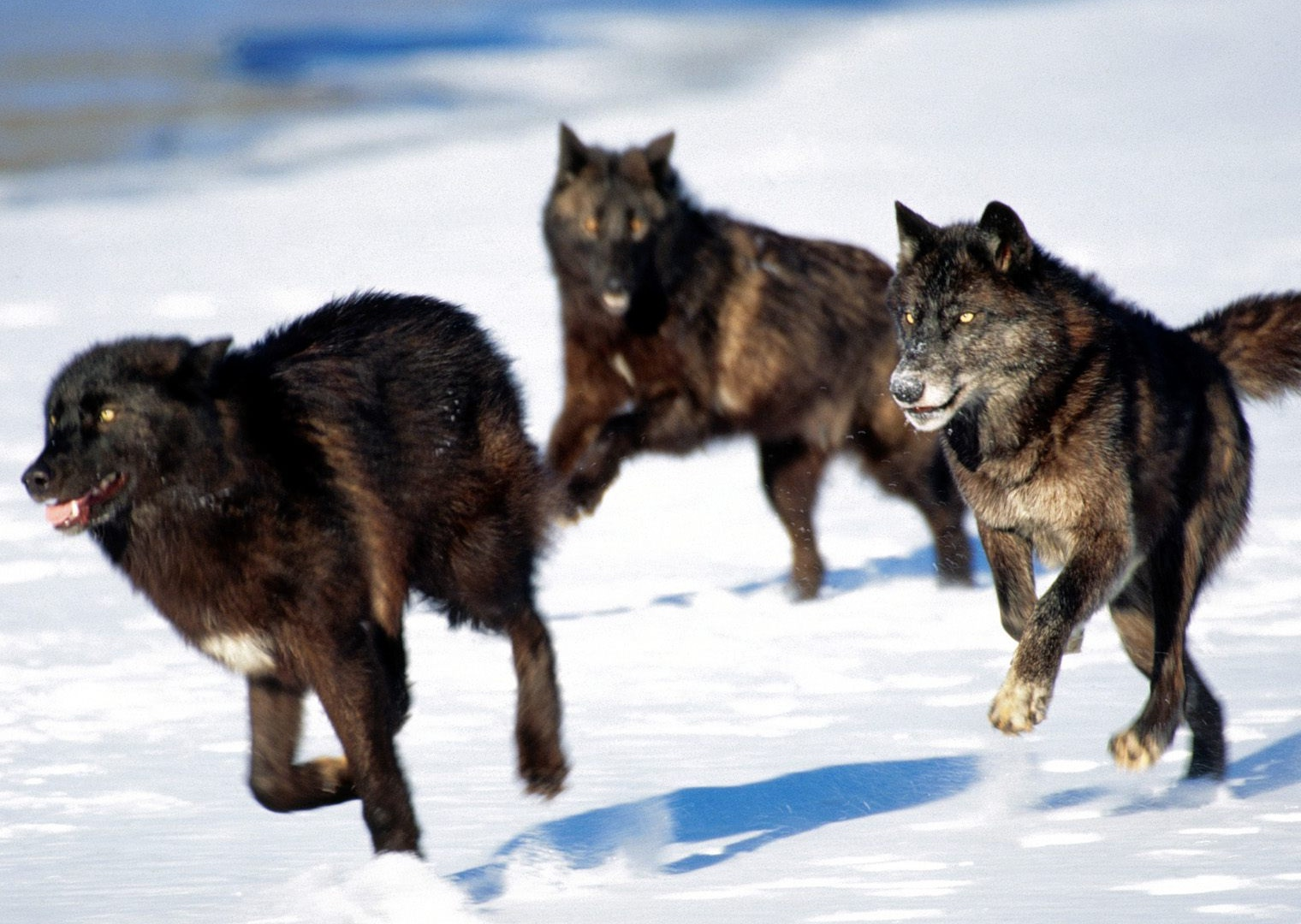 Scientific Wallpaper 3d Pictures Of A Wolf Pack On Animal Picture Society