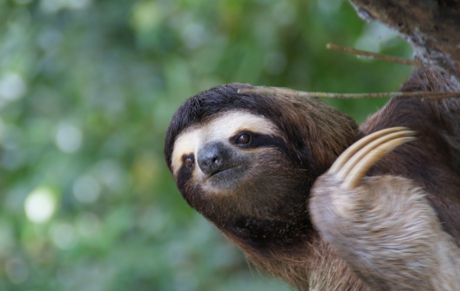 Cute Duck Wallpapers Download Maned Three Toed Sloth Pictures On Animal Picture