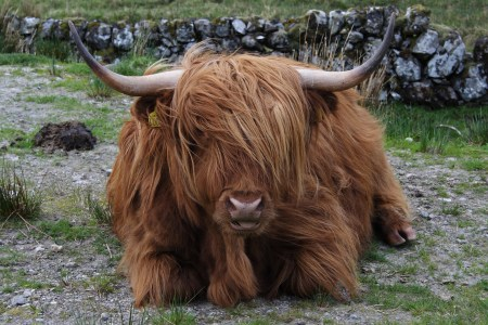 Highland Cattle Images