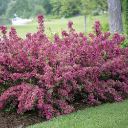Small Of Weigela Spilled Wine