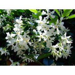 Small Crop Of Star Jasmine Vine