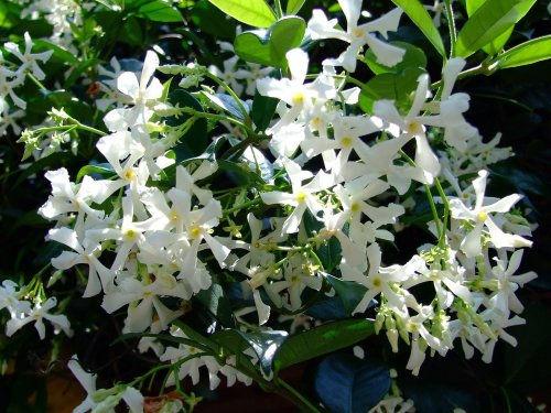 Medium Of Star Jasmine Vine