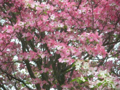Medium Of Pink Dogwood Tree