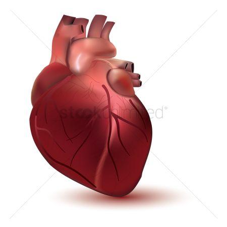 Free Heart Anatomy Stock Vectors StockUnlimited