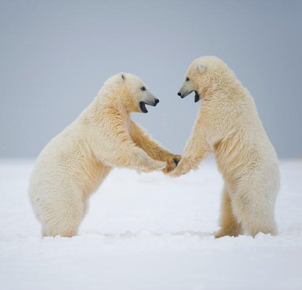 Wallpaper Images Of Fall 全球变暖致俄罗斯北极熊减少 视频中国