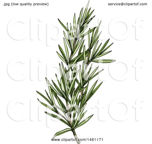 Glancing Rosemary Weight Clipart A Sketched Rosemary Sprig Royalty Free Vector Sprig Rosemary Clipart Sprig A Sketched Rosemary Sprig Royalty Free Vector Illustration Byvector Tradition Sm Clipart