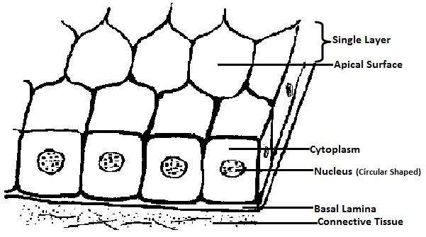 stratified cuboidal diagram