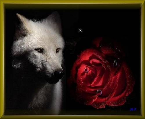 Quotes For College Wallpaper Rose With Wolf Facebook Comments And Graphics Rose With