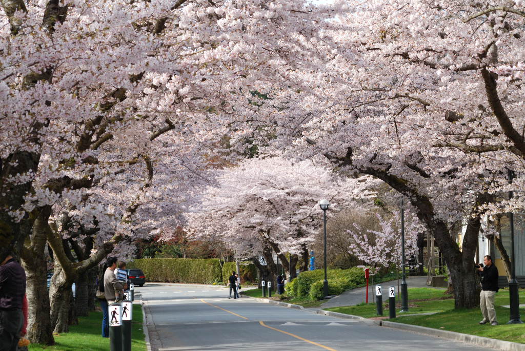 Victoria Falls Wallpaper 30 Colourful Photos Of Vancouver Cherry Blossoms Daily