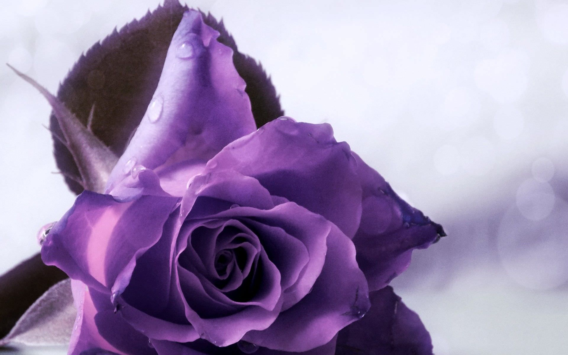 3d Flower Touch Live Wallpaper 29 Roses Backgrounds Wallpapers Images Pictures