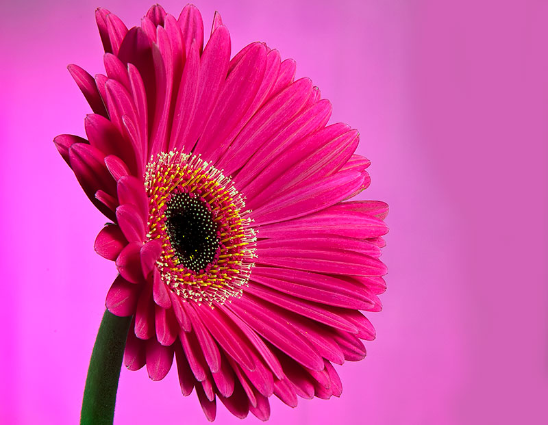 Pink Flower Wallpapers With Quotes Dark Pink Gerbera By Manavg Dpchallenge