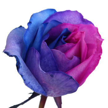 Orange Fall Peony Wallpaper Blue Pink And Purple Rainbow Roses