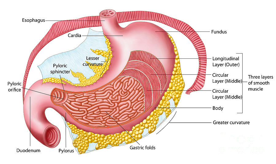 Anatomy Of The Human Stomach Digital Art by Stocktrek Images