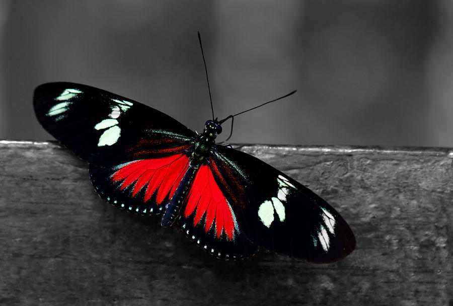 Roter Schmetterling Red Butterfly Photograph By Sumit Mehndiratta