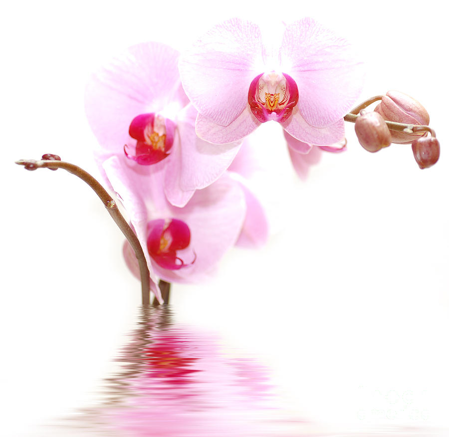 Baby Pink Iphone Wallpaper Spa Flowers Photograph By Michal Bednarek