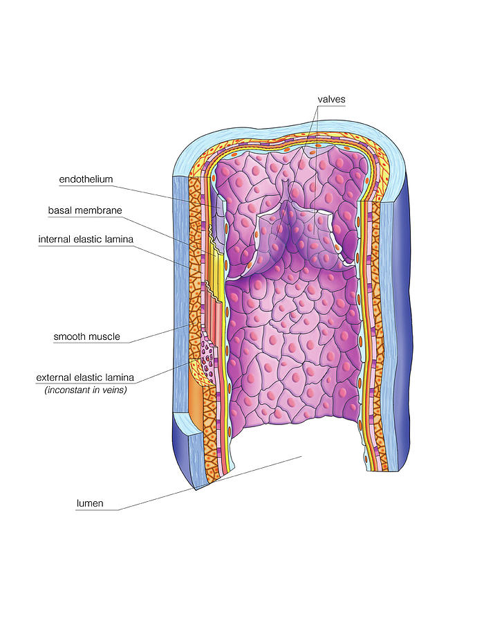 Vascular Anastomosis Photograph by Asklepios Medical Atlas