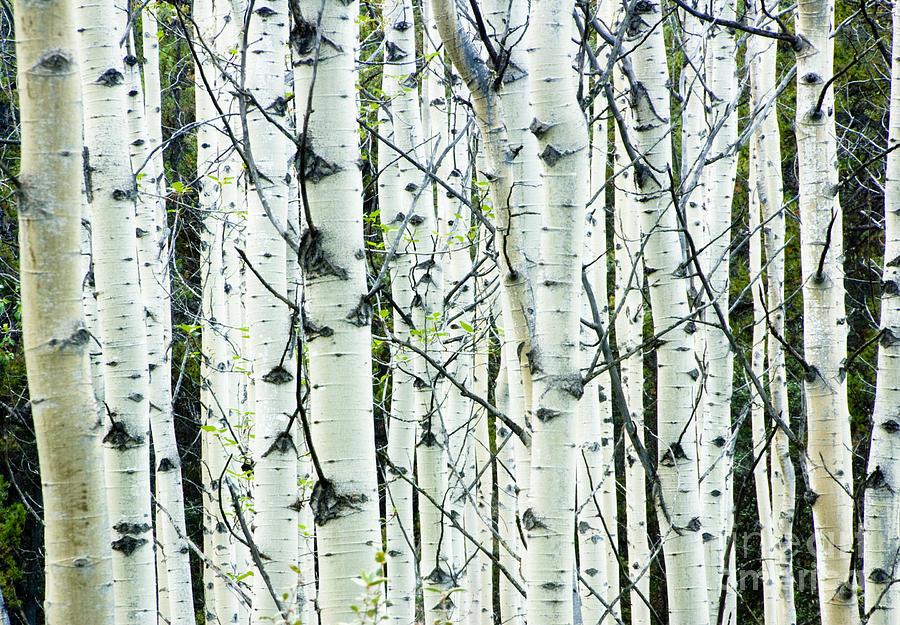 Fall Birch Tree Wallpaper White Birch Tree Forest Photograph By Oscar Gutierrez