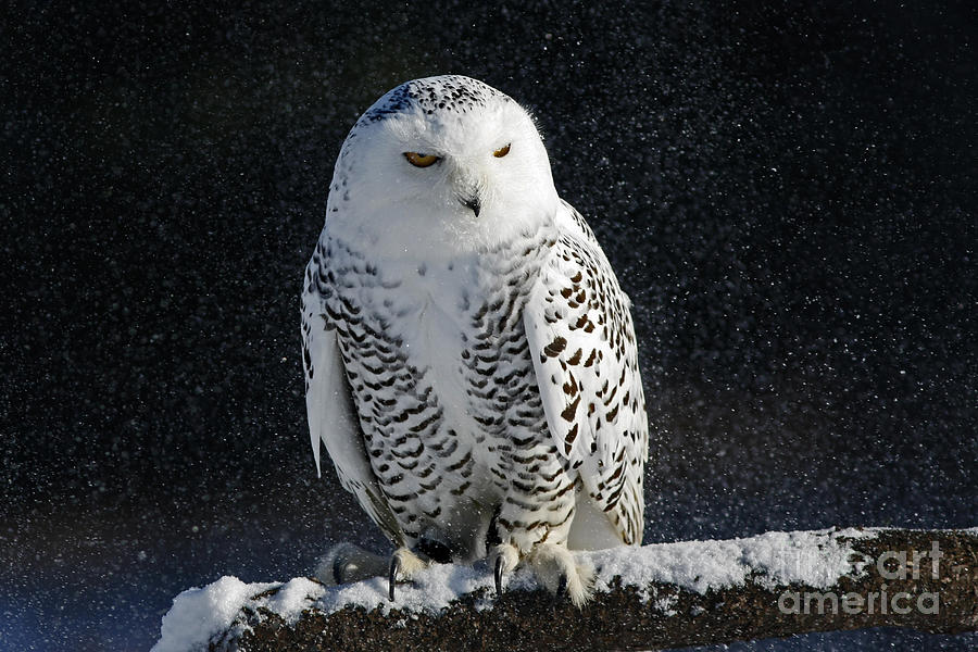 Fall Owl Wallpapers Snowy Owl On A Twilight Winter Night Photograph By