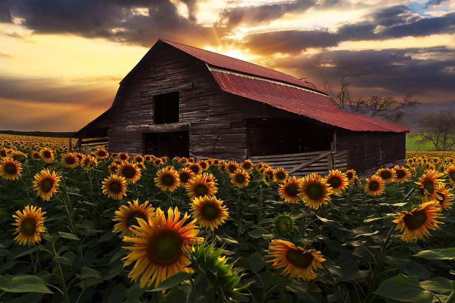 Fall Sunflower Desktop Wallpaper Sunflower Farm Photograph By Debra And Dave Vanderlaan