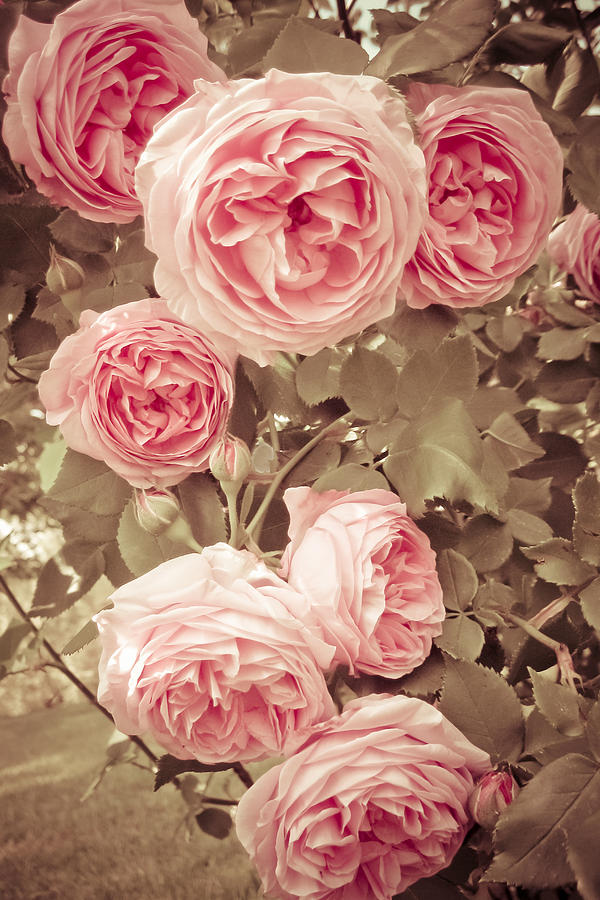 Cute Wallpaper Phone Case 7 Vintage Rose Photograph By Susanne Kopp