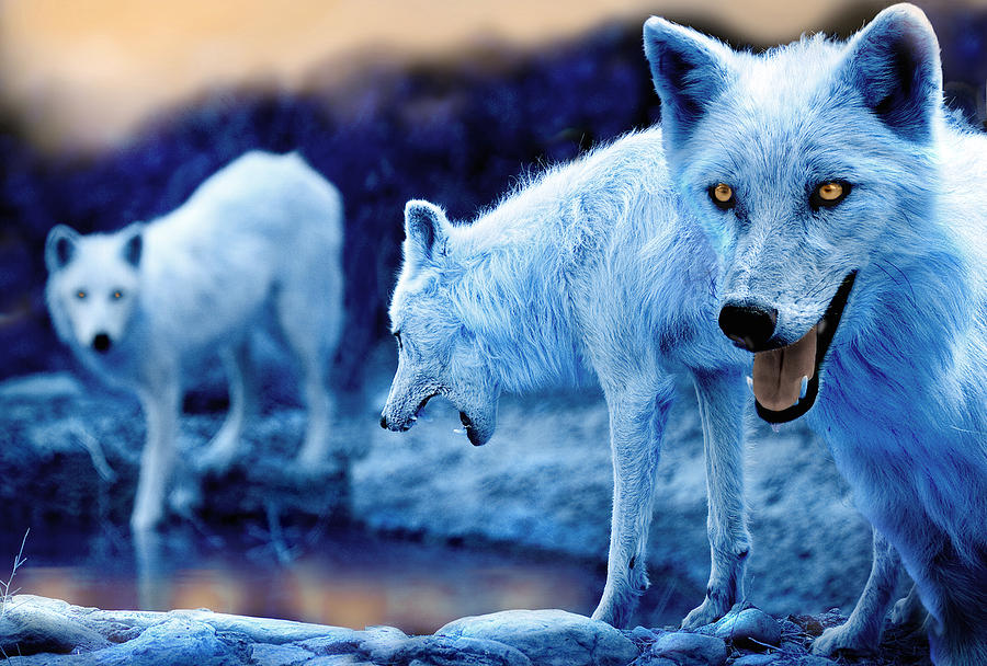 Cute Baby Blue Eyes Wallpaper Arctic White Wolves Photograph By Mal Bray