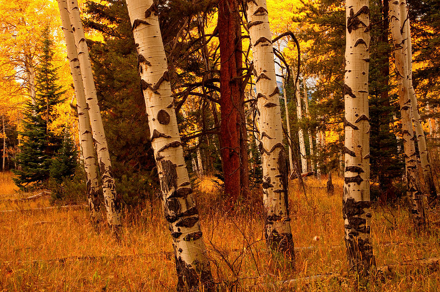Fall Aspens Wallpaper Autumn Woods Photograph By Aaron Whittemore
