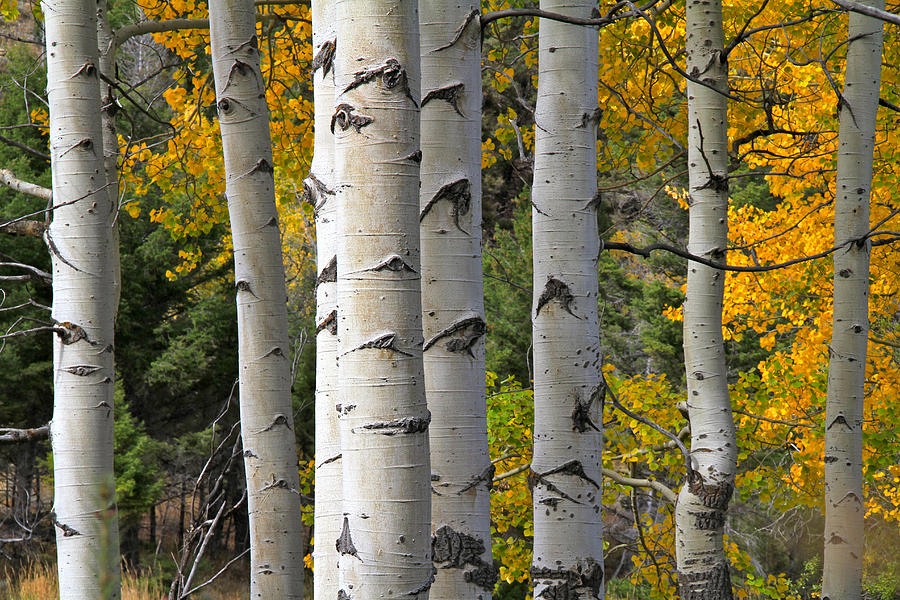 Birch Tree Fall Wallpaper Autumn Yellowstone Aspens Photograph By Ed Riche