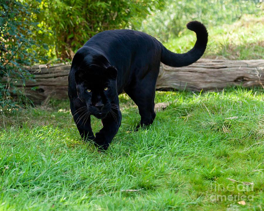 Chicago Cubs Wallpaper Iphone 6 Black Jaguar Stalking Photograph By Sarah Cheriton Jones