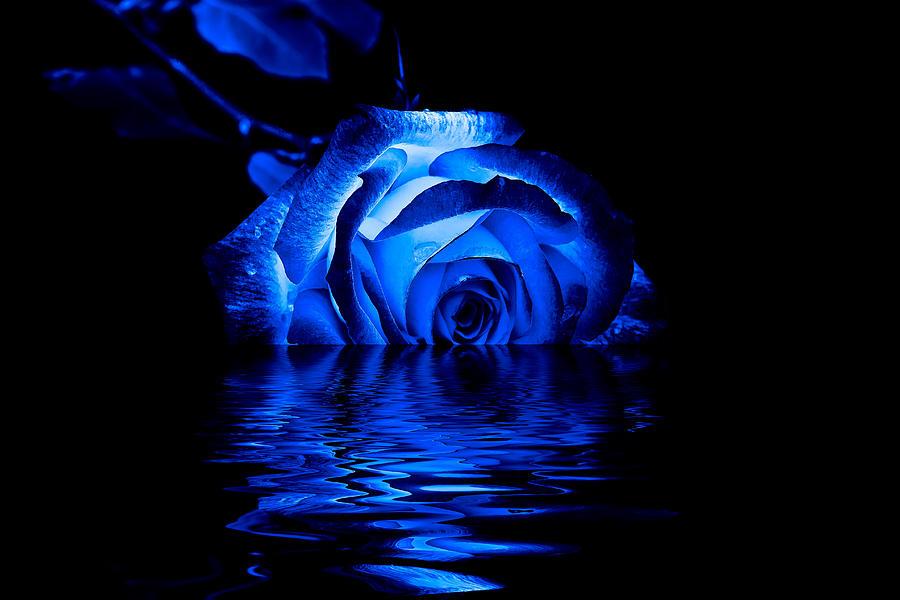 3d Wallpaper App For Iphone Blue Rose Photograph By Doug Long