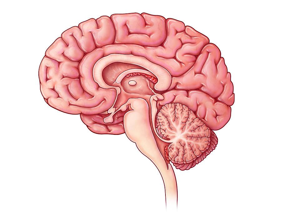 Brain Sagittal Section Illustration Photograph By Evan Oto