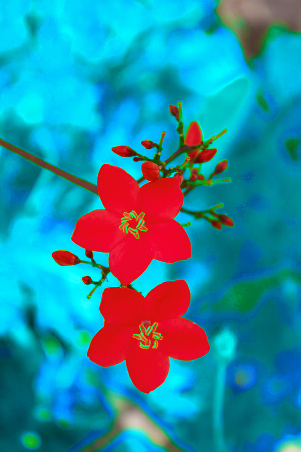 Bright Red Flowers On Turquoise Background Photograph by Catherine