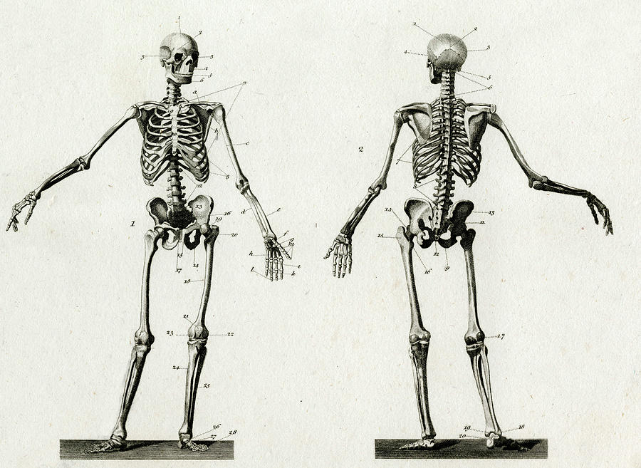 skeleton front and back neck diagram