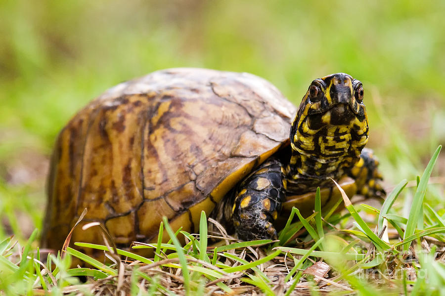 Live Beach Wallpaper For Iphone Florida Box Turtle Photograph By Dawna Moore Photography