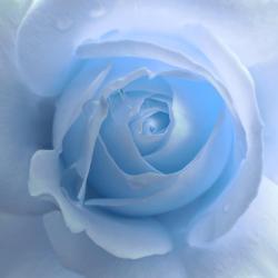 Lightness of a Blue Rose Flower Photograph by Jennie Marie Schell
