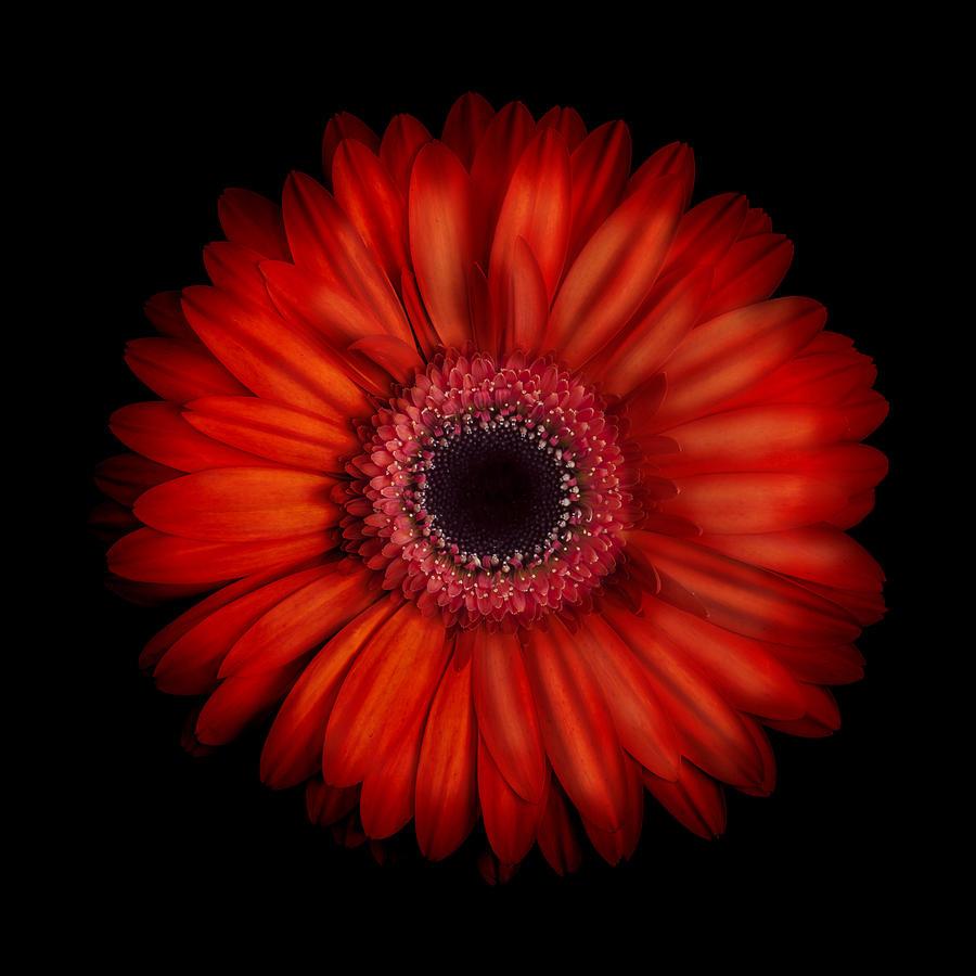 Iphone 6 Orange Flower Wallpaper Macro Photograph Of An Red And Orange Gerbera Daisy