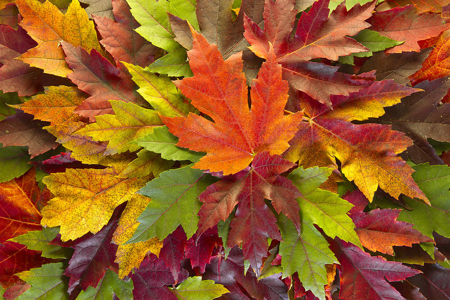 Fall Season Wallpapers For Iphone Maple Leaves Mixed Fall Colors Background Photograph By