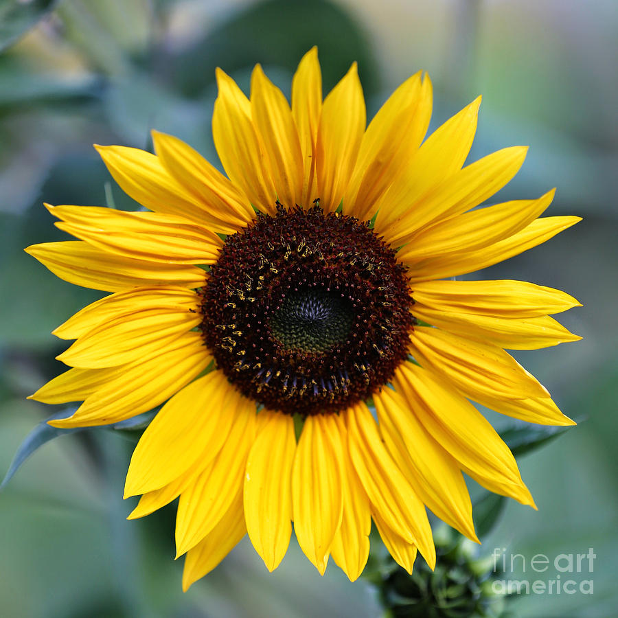 Cute Wallpapers For Adults One Bright Sunflower Photograph By Carol Groenen