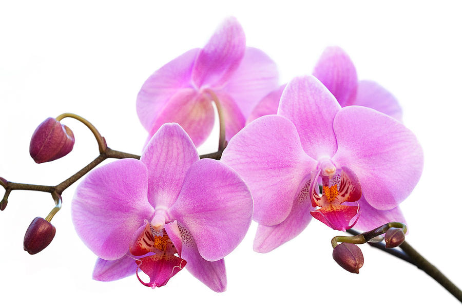 Iphone 5 Wallpaper Gold Orchid Flowers Ii Pink Photograph By Natalie Kinnear