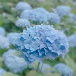 Pastel Blue Hydrangea Photograph by Kim Hojnacki