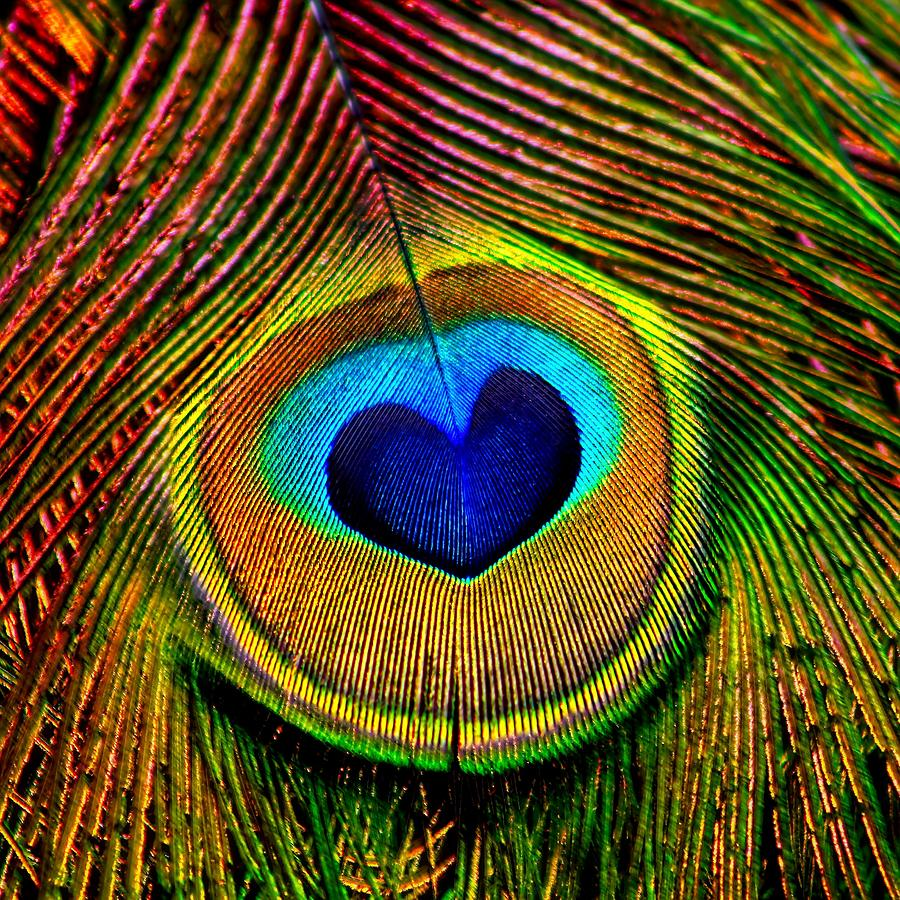 Water Drop Wallpaper For Iphone Peacock Feathers Eye Of Love Photograph By Tracie Kaska