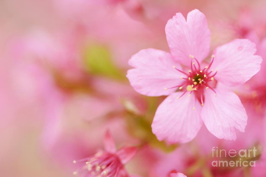 Iphone Wallpaper Japanese Art Pink Cherry Blossom Photograph By Oscar Gutierrez