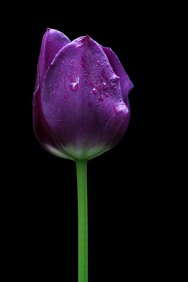 Violet Wallpaper Hd Purple Tulip Photograph By Ivan Slosar