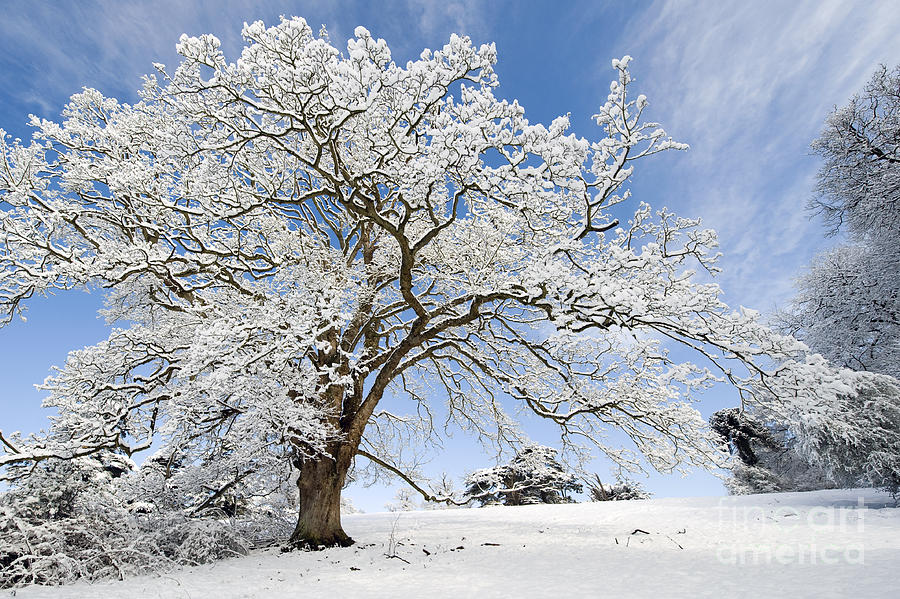Fall Scene Wallpaper For Iphone Snow Covered Winter Oak Tree Photograph By Tim Gainey