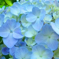 Soft Pastel Blue Hydrangea Flower Petals Photograph by Baslee Troutman