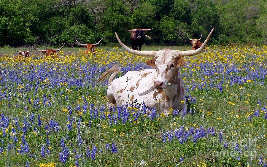 Bluebonnet Iphone Wallpaper Texas Longhorns And Bluebonnets Photograph By Joe Southern