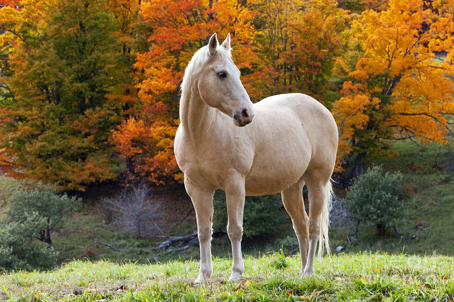 Fall Wallpaper Free Iphone White Horse In Autumn Photograph By Brian Jannsen