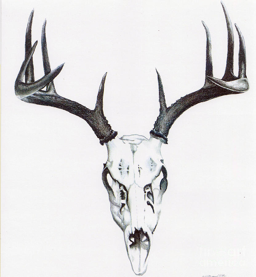 Whitetail Deer Drawings Fine Art America