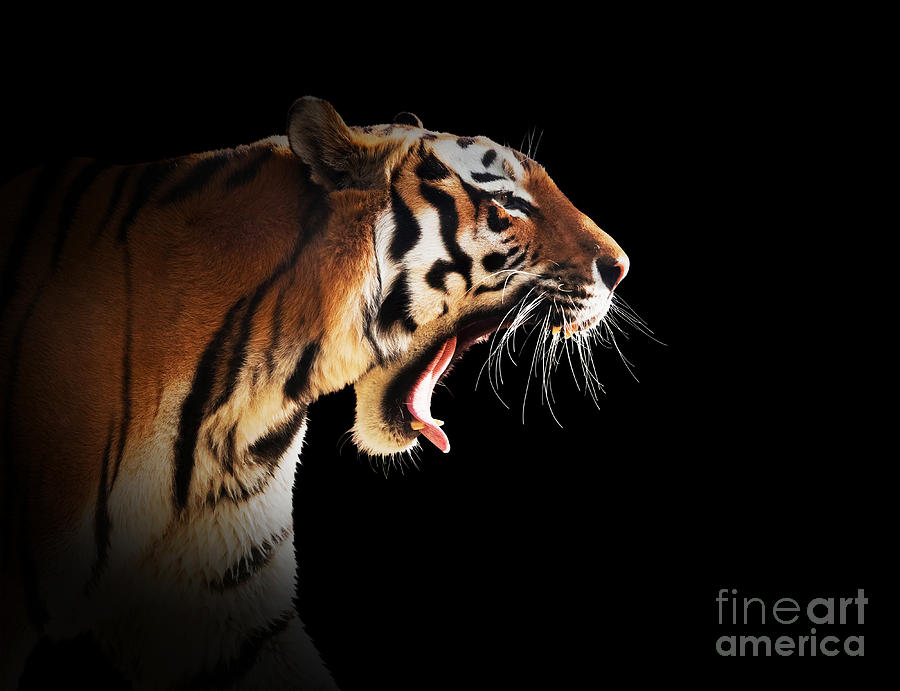 Cute Bengal Wallpapers Hd 1366x768 Roaring Tiger Side View