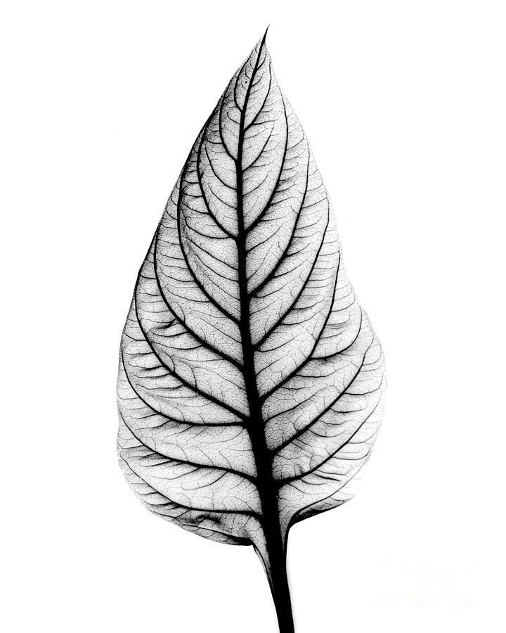 Bert Wallpaper Iphone X X Ray Of Celosia Leaf Photograph By Bert Myers