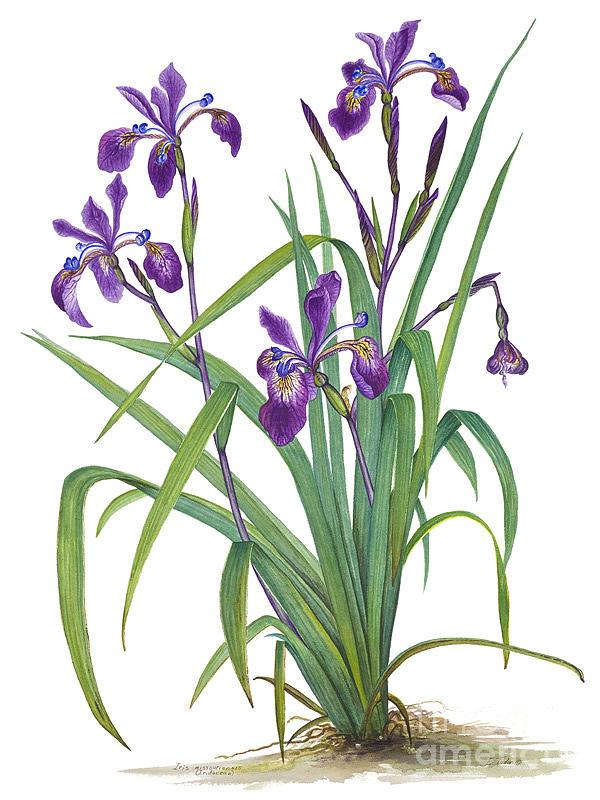 Floral Print Iphone Wallpaper Siberian Iris Painting By Elizabeth H Tudor